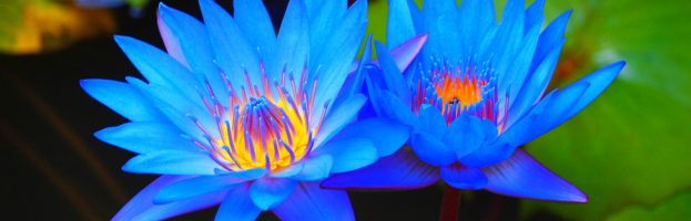 Everything You Need to Know About Smoking the Blue Lotus Flower